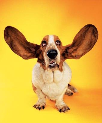 Listening.Dog